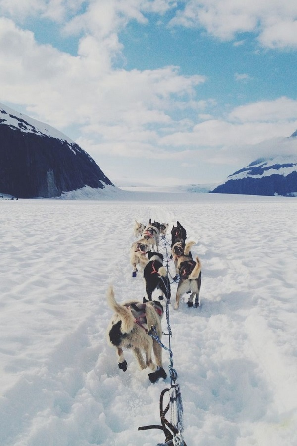 Sled Dogs - Juneau, Alaska | by: Vi Bui