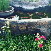 The fishes at Espacio Verde's pond.